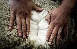 Не дайте себя обмануть: отличаем дорогую шерсть от дешёвой правильно